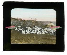 清代民国玻璃幻灯片-----民国时期草原蒙古包和羊圈养羊