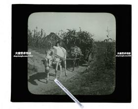 清代民国玻璃幻灯片-----民国时期东北满洲农村农场高粱丰收季节,农夫赶马车拉作物回家