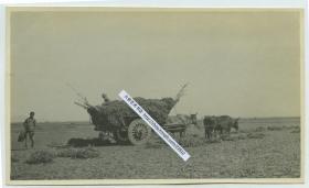 1929年山东曲阜孔庙附近百姓在农田中蓐草,牛拉大车。13.9X8.2厘米