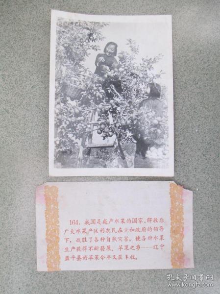 1959年,为庆祝新中国成立十周年而发行的【祖国十年建设成就】之164苹果之乡——辽宁省盖平县  尺寸:约20厘米*15厘米