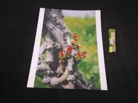 照片:古树争春