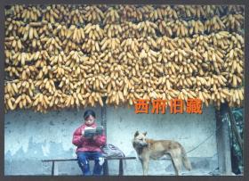 九十年代,农家院里读书声,满墙的丰收玉米和作伴的黄狗