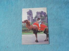 明信片:寄给深圳 李一 哥哥 照片 姑娘骑着骆驼 背景峻山