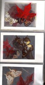 枫叶.蝴蝶标本.10张