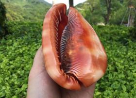 万宝螺,万宝海螺,顶级纯天然稀有四大名螺之万宝螺大法螺,品相一流,质地细腻,非常不错可遇不可求的大海珍宝值得永久收藏