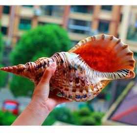 凤尾海螺,凤尾海螺,顶级纯天然稀有四大名螺之凤尾螺大法螺,品相一流,质地细腻,非常不错可遇不可求的大海珍宝值得永久收藏