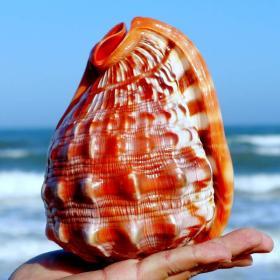 海螺,贝壳,天然海螺贝壳,四大名螺之万宝螺超大,品相一流,质地细腻,非常不错可遇不可求的大海珍宝值得永久收藏