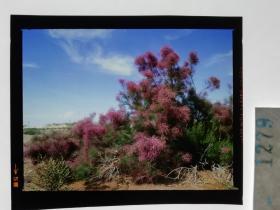 1279  电影明星 美女 剧照反转片  《砂砾》  漫山遍野的红花