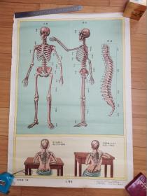 自然挂图.下辑:七.骨骼(1956年版)