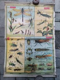 建国前后动物挂图-节肢动物昆虫类