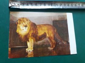 老明信片:非洲狮