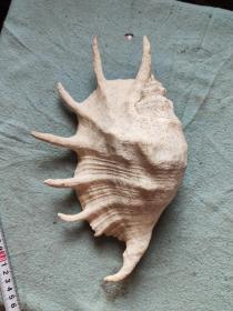 大海螺一个
