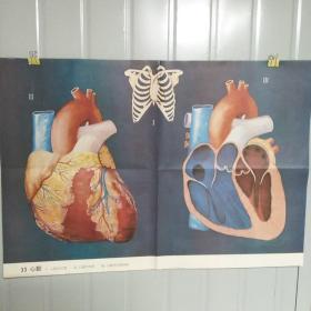 小学课本教学挂图 33心脏 全套85幅