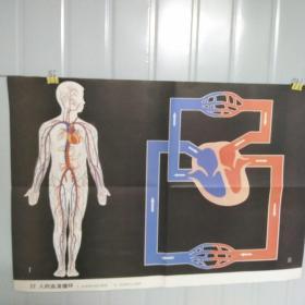 小学课本教学挂图  32人的血液循环 全套85幅