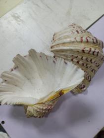 贝壳 1对,很厚很重