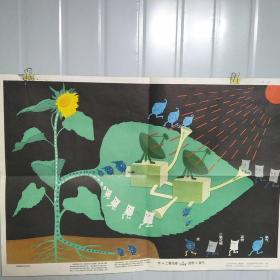 小学课本自然常识第二册教学挂图 植物的光合作用