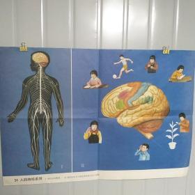 小学课本教学挂图 34人的神经系统 全套85幅