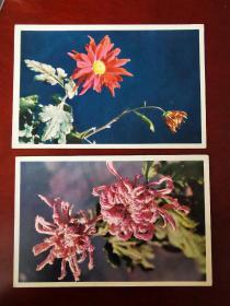 """1960前后,北京邮局版,菊花明信片两种,背面有1987年学生手写""""小雨中的回忆""""歌谱"""