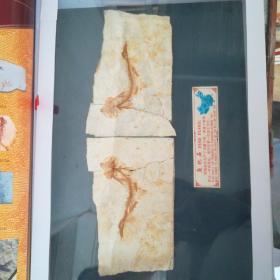 鱼化石(全新,稀缺鸳鸯鱼)