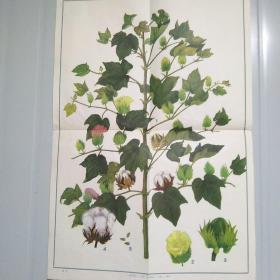 小学课本自然常识第二册教学挂图 经济作物 大豆、棉花