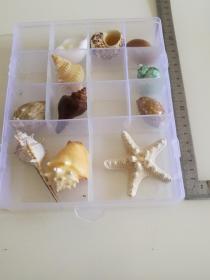 天然海螺11种