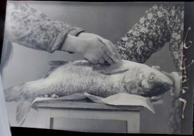 1965年底片一张:女农技人员准备解剖大鱼