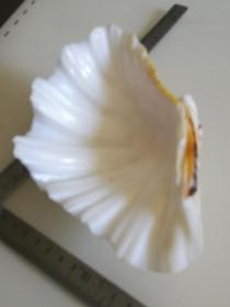 漂亮的天然贝壳