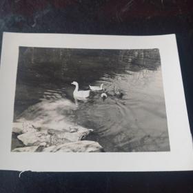 大白鹅老照片一张
