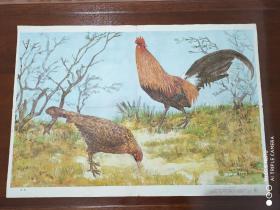 初级中学课本动物学教学挂图  脊椎动物亚门   鸟纲(下辑)9  《原鸡》王志伟绘2开   1988年一版一印