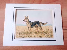 彩色原创老蚀刻《世界名犬:德国牧羊犬(黑贝)》(Canis lupus familiaris)-- 出自德国艺术家Paul Wood的原创作品,带签名 -- 德国牧羊犬别名德国黑背(贝),也就是人们常说的德国狼犬 -- 卡纸画框34*25厘米,版画纸张24.5*21.5厘米