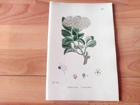 19世纪手工上色钢版画《英国植物花卉图谱637:茜草目--忍冬科--接骨木属--西洋接骨木》(Sambucus nigra)-- 来自19世纪英国著名植物学家John T. Boswell的文献整理,插图出自英国画家John Edward Sowerby,大英博物馆出版 -- 纸张尺寸25.5*17.5厘米 -- 手工上色,非常精美