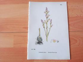 19世纪手工上色钢版画《英国植物花卉图谱1007:管状花目--列当科--列当属--分枝列当》(Orobanche ramosa;Branched Broom-rape)-- 来自19世纪英国著名植物学家John T. Boswell的文献整理,插图出自英国画家John Edward Sowerby,大英博物馆出版 -- 纸张尺寸25.5*17.5厘米 -- 手工上色,非常精美