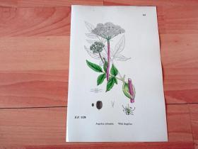 19世纪手工上色钢版画《英国植物花卉图谱607:伞形目--伞形科--当归属--野当归》(Angelica sylvestris,Wild Angelica)-- 来自19世纪英国著名植物学家John T. Boswell的文献整理,插图出自英国画家John Edward Sowerby,大英博物馆出版 -- 纸张尺寸25.5*17.5厘米 -- 手工上色,非常精美,附参考照片