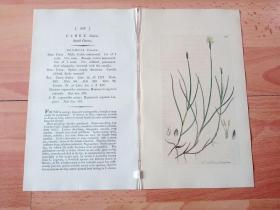 1805年铜版雕刻《爱德华·史密斯的英国植物花卉图谱543:罂粟目--莎草科--苔草属--细叶苔草》(CAREX dioica,Small Carex)-- 由英国著名植物学家,詹姆斯·爱德华·史密斯(James Edward Smith)编辑,版画由英国画家James Sowerby(1757–1822)雕刻,伦敦林奈学会出版发行 -- 附英文详细说明,手工上色 -- 版画纸张28*23厘米