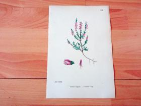 19世纪手工上色钢版画《英国植物花卉图谱894:杜鹃花目--杜鹃花科--帚石南属--帚石南(挪威国花)》(Calluna vulgaris,Common Ling)-- 来自19世纪英国著名植物学家John T. Boswell的文献整理,插图出自英国画家John Edward Sowerby,大英博物馆出版 -- 纸张尺寸25.5*17.5厘米 -- 手工上色,非常精美