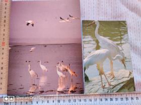 明信片:白鹤•一套三枚