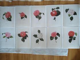 茶花10页1 铜版纸A4大小 外国绘画