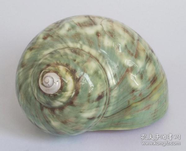 南海海螺 清供