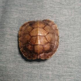 【长春钰程书屋】乌龟标本(品相完好,胳膊腿,头)