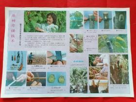 《桑树芽接技术》八十年代农业宣传画