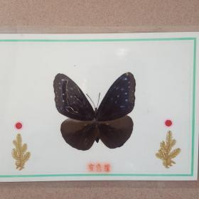 3个蝴蝶标本(珍稀种类)