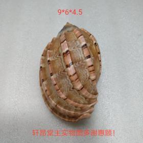 杨桃螺/竖琴螺