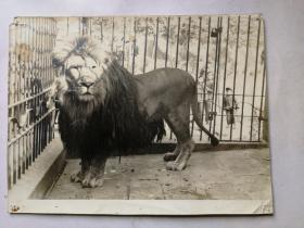 老照片 动物园的狮子和小朋友