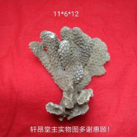 小巧精致老珊瑚