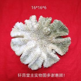 銀耳狀大珊瑚