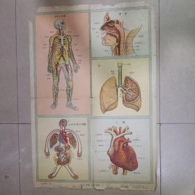 自然挂图 下辑【 十二呼吸,血液循环】1956.1月