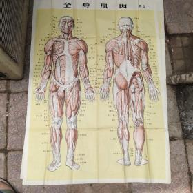 全身肌肉(图2)一张
