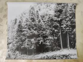 彩色照片:摄影师拍摄的黑白照片---铁杉  大幅照片      共1张照片售     彩色照片箱3   00205