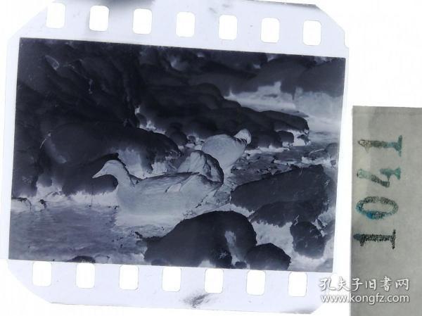 纪实摄影底片1张 童趣 滑冰刀、冰车、冰滑梯系列66 溪水中的野鸭子 冰雪消融
