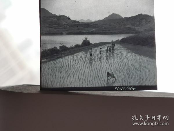 1964水田插秧 正负底片各一张